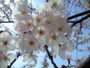 さくら咲く空のしたで