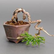 盆栽青梅さんのプロフィール