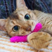 ちっちゃい猫 アビシニアンのルー