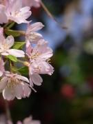 朝日ににほふ山桜花