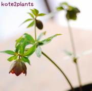 kote2plants Original