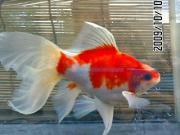 drNの金魚生活