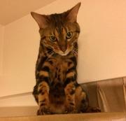 ベンガル猫のソラ模様〜光(ルーク)と共に〜