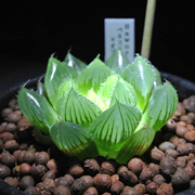 がんばれ北向きガーデン -Succulent life-