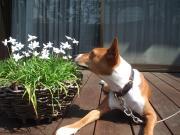 スノーフラワーの花ガーデニングブログ