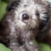 OPプードル犬HOKU・リポート
