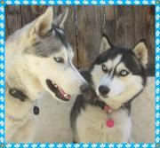 天使の町のハスキー犬 - ナナ&ガンバ