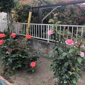 鮎釣りと薔薇づくり