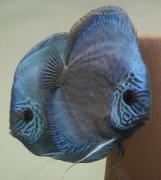Inkblue Discus