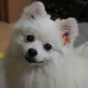 サモエド・スピッツ・ポメラニアン・柴犬ドタバタ日記