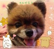 看板犬☆ポメラニアン・カルビ王子の華麗なる冒険
