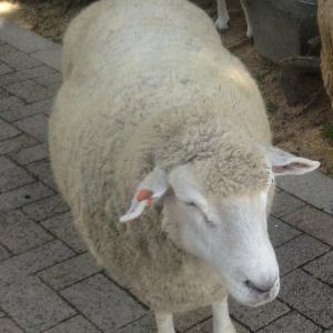 夢見る仔羊、旅に出る