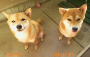 柴犬 さくら*はる daisukiだよ