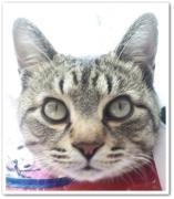 (-・ω・-)キジトラ マオのネコにっき(-・ω・-)
