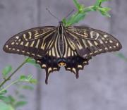 ぼんぼり山に揚羽蝶