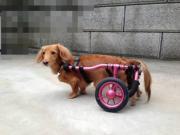 車椅子犬『もものリハビリムービー+ゆず』