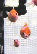 AquariumDiary 金魚な日々を記す