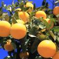 柑橘系農作業の記録