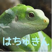 はちゅきんー爬虫類の動画や生態をご紹介ー
