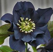 The World of Helleborus and Uran shaped Clematis