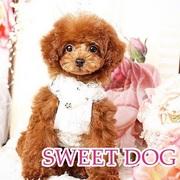 SWEET DOG岡山県プードル専門店ブリーダー直売