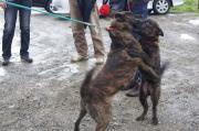 甲斐犬 和明日犬舎のブログ