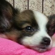 パピヨン&チワワ大好きドッグライフ☆
