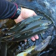 年に数回の鮎釣り渓流り。日常生活365日!
