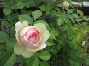 庭づくり〜バラとハーブと雑草 絵本、おもちゃなど