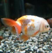 初老と金魚