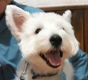 白犬おっぽ(ウエスティ)のルイ君日記