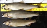 Sasagas.の鮎釣りin那珂川