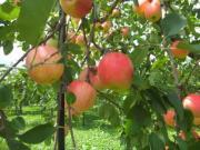 まるてつ果樹園のヨメッコ通信