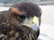 超初心者の鷹飼育日記