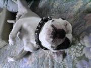老犬フレンチブルドッグとスイーツな日々。。