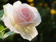 プリザーブドフラワー BLUE ROSE