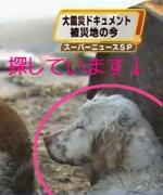 白い大型犬を探してます。仙台市。フジテレビ津波犬