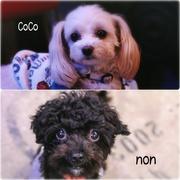 CoCoもnonも♥ちわぷー犬