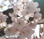 氷桜 りんさんのプロフィール