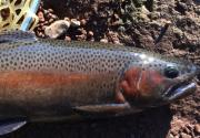 TROUT KING