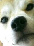 柴犬るまの日常。+ねこたち