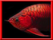 古代魚巨大化計画Ver〜1