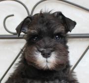 岡山県 シュナウザーブリーダー 子犬販売