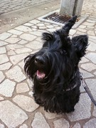 Scottish Terrier HAPPY のもう大犬に成りました