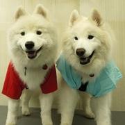 サモエド犬ニコニコ ラッキー・ラルフ