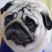 パグ犬☆パンチの徒然日記