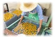 梅農家の長男 Uターン就農日記 @ 日本一の梅の里