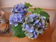 花、一輪 Ortensia