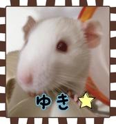 """Fancy rat """"由希""""♂ ノ fancy ブログ"""