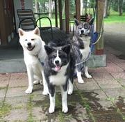 秋田犬の輝の成長記録
